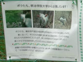ヤギの除草実験の告知1