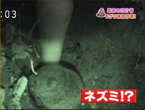 モグラの穴からネズミが登場