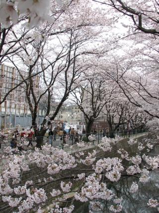 麻生川沿いに咲く桜