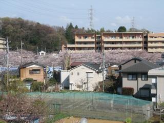 離れた場所から見た、麻生川の桜