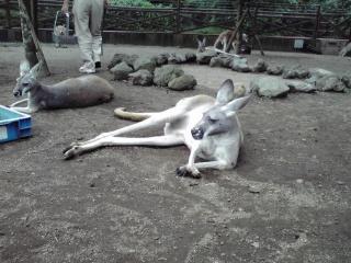 おやじっぽいカンガルー