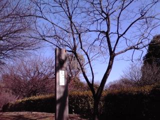 王禅寺ふるさと公園に植えられている禅寺丸柿の木