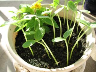 西瓜の種がほとんど全部発芽した