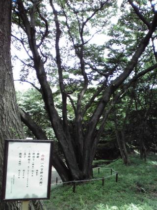 稲城中央公園にある山桜「八方幹の大樹」