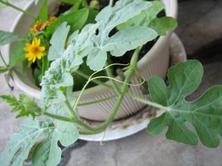 西瓜の芽2010年7月27日