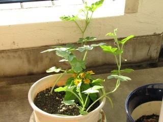 西瓜の芽2010年8月3日全体