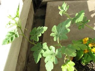 西瓜の芽2010年8月3日葉が増える