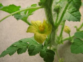 西瓜の雄花(アップ)