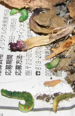 ジガバチの巣の破片(拡大)