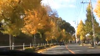 鶴川いちょう通り イチョウ並木の黄葉