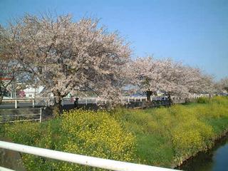 2004.04.09 国道一号線バイパス沿いの桜と菜の花