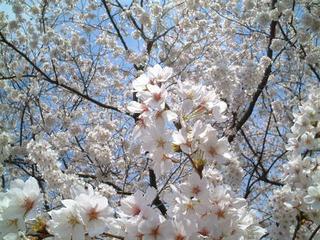 2008.03.29 麻生川沿いの桜