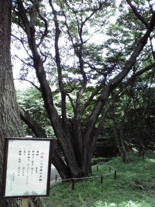 2010.06.20 山桜「八方幹の大樹」