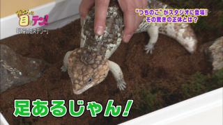 ツチノコと違ってアオジタトカゲには足があります