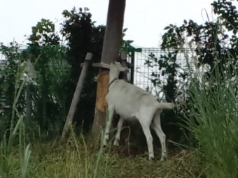 除草実験のヤギが木の皮を食べている